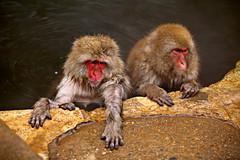 Monkeys in Onsen (Vera Rong Wang) Tags: japan monkey monkeyonsen nagano jigokudani 長野 地獄谷野猿公苑