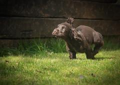 Freedom, Pure freedom (PenparcauBoy) Tags: pup puppy chocolate running portrait dog brown cocker spaniel