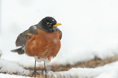 Am Robin-40892.jpg (Mully410 * Images) Tags: birdwatching spring blizzard winter backyard americanrobin birds robin birding bird snow birder snowing