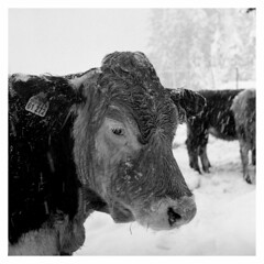 snowed in (irgendwiejuna) Tags: animal cow bavaria film ilford ilfordfilm hp5 400200 caffenol caffenolcl animals 2019 blackandwhite nopeople hasselblad 120 6x6 mediumformat winter snow