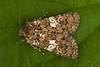 2172-_W4A9832 White Spot (Hadena albimacula) (ajmatthehiddenhouse) Tags: moth uk garden stmargaretsatcliffe kent 2018 hadeninae noctuidae hadenaalbimacula hadena albimacula whitespot