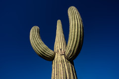 Welcoming Arms (Amar Raavi) Tags: saguaro cactus carnegieagigantea desert spines needles giant plant sonorandesert bluesky green landscape nature outdoors travel arizona usa