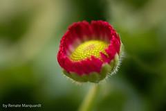 Gänseblümchen (Bellis perennis) (renate.marquardt) Tags: 2019 blumen flowers blüten blossoms natur nature