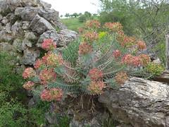 Euphorbia rigida (Narrow-leaved glaucous spurge)