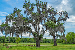 Louisiana Cypress Tree (Ronnie Newman Photography) Tags: tree trees moss cypress cypresstree nature naturephoto naturephotography landscape landscapephoto nikon nikond750 nikonphotography photography photos photographer photo wildlife blue sky skyline