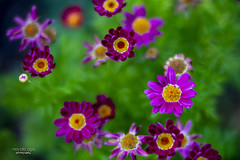 up in the air (mariola aga) Tags: garden flowers closeup lensbaby velvet85 manual coth alittlebeauty thegalaxy coth5
