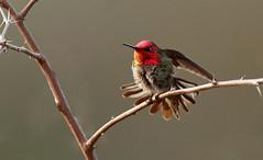Feeling Good! (rambokemp) Tags: hummingbird wildlife wing wetlands gilbertarizona riparian preserves branch