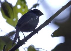 Cuban Bullfinch_19-03-01_Melopyrrha nigra (Langham Birder) Tags: cuba cubanbullfinch melopyrrhanigra