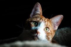 Good Morning Luke (Nicholas Erwin) Tags: luke cat animal pet kitty kitten feline meow orangetabby orangecat contrast shadow windowlight fujifilmxt2 xf60mmf24rmacro fujixt2 xf60 6024 fujixf6024 fav10 fav25 fav50