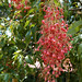 Kurrajong tree flowering (Brachychiton)