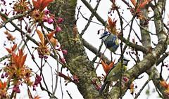 Mésange bleue (Bushcraft.Eure) Tags: mésange bleue cyanistes caeruleus mésangebleue cyanistescaeruleus wood tree wildlife pelouse oiseau eure normandie valleedeleure normandy green oss nature sony sonya6000 sonye epz18105mmf4goss 18105mm animal oiseaux bird prunus serrulata cerisier du japon prunusserrulata cerisierdujapon sakura blue pink bluetit tit bluechickadee chickadee printemps spring