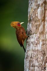 Cinnamon Woodpecker - male (Osprey-Ian) Tags: costarica cinnamonwoodpecker