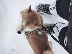 Spring Snow 3 (pjen) Tags: shibainu shibaken nihonken hiro dog shiba koira primitive breed spitz japanese finland 日本犬 柴犬 urajiro 10years winter spring snow ice