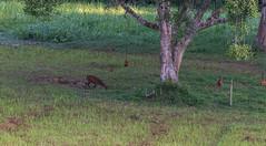 DSC_5400 (Adrian Royle) Tags: malaysia tamannegara travel holiday nature wildlife mammal deer forest outdoors nikon barkingdeer muntjac
