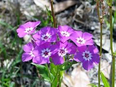 Phlox drummondi --  Annual Phlox 2670 (Tangled Bank) Tags: san felasco state forest alachua county florida wild nature natural trail outdoors hiking plant flora botany