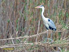 Garza real (Ardea cinerea) (6) (eb3alfmiguel) Tags: aves acuaticas ciconiiformes ardeidae garza real ardea cinerea