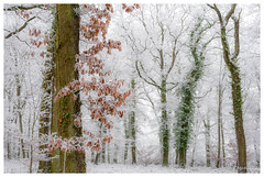 Douceur du givre (Pascale_seg) Tags: landscape paysage forêt bois sousbois vert verdure earth terre nature hiver winter inverno blanc bianco white givre frost frosty snow neige neve tree lierre feuilles leaves orange elitegalleryaoi bestcapturesaoi