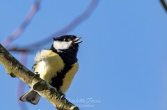 Great tit- he was telling me off! (charlottejarvis@live.co.uk) Tags: collegelake bird greattit uk england thechilterns