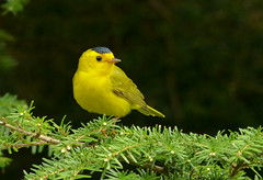 Willy Predicts An Early Spring (ebirdman) Tags: wilsonswarbler wilsons warbler cardellinapusilla cardellina pusilla male