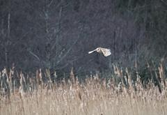 P2110570 (stuart.hall57) Tags: barn barnowl bird flying hunting marshes owl raptor teifi wales