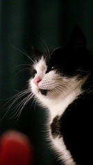 look pretty, kitty (MobyRichard) Tags: cat portrait kat poes lola pentaxsmc50mmf17 fujixt1 fujifilm