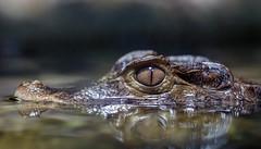 Portrait of a killer (Novice Shooter) Tags: crocodile crocodilian reptile nature naturephotography canon beautiful beauty portrait