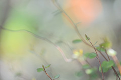Who cares what the morrow shall bring (setoboonhong) Tags: nature foliage leaves tendrils maidenhairtree closeup bokeh green colours blur light song today johndenver lyrics hbw