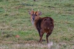 muntjac deer (colin 1957) Tags: muntjac deer alton