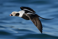 Long-tailed duck (JS_71) Tags: nature wildlife nikon photography outdoor 500mm bird new winter see natur pose moment outside animal flickr colour poland sunshine beak feather nikkor d500 wildbirds planet global national wing eye ngc