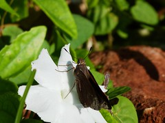 P1210833  Monk Skipper at Cuban Campanilla Flower(Morning Glory)--Ipomoeae batata (birder2015 Toronto, Canada) Tags: monkskipper asboliscapucinus hesperiidae butterfly mariposa lepidoptera insect wildflower holguincuba cubancampanillaflower ipomoeaebatata
