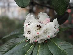 kisses for you (1elf12) Tags: rhododendron bremen botanika germany deutschland flower blume