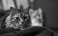 (Light Echoes) Tags: sony a6000 2018 winter february cat chat kot gatto feline pet katze kat kalo котка gato gate gat animal 고양이 γάτα kočka 貓 القط kass kissa חתול बिल्ली miv macska kucing 猫 vighro kaķis katė qattus katten گربه pisica кошка mačka katt แมว kedi кішка بلی mèo cath rescue longhairdomestic boo bugaboo bw topazbw blackandwhite monochrome