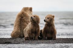 _HB31321 (Hilary Bralove) Tags: lakeclarknationalparkbrownbearsbearsalaskanikonwildlifegrizzlygrizzlybearbrownbearanimalswildlifephotographer alaksa brownbears grizzlybears bear bears grizzly brownbeargrizzly bearlake clarkwildlifealaska wildlifenikonlake clark national park
