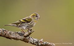 Female Siskin (www.facebook.com/PaulSmithWildlife) Tags: wildlife nature bird scotland cairngorms winter springwatch