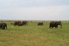 That's what you do in a herd, you look out for each other (BikerSpeedTriple) Tags: elephant herd savanna maasai maasaimara kenya riftvalley safari animals landscape