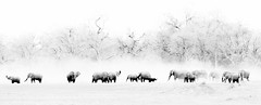 Elephants (Thomas Retterath) Tags: nopeople safari 2018 natur nature thomasretterath okavangodelta botswana africa afrika khwai adventure wildlife abenteuer stoszähne loxodontaafricana bigfive africanelephant elefant elephantidae pflanzenfresser herbivore säugetier mammals animals tiere tusks staub dust