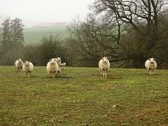 Moutons (Rudy Pické) Tags: belgique wallonie bornival animal