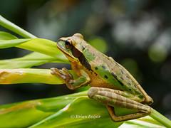 masked tree frog (Brian Eagar Nature Photography) Tags: smiliscaphaeota maskedtreefrog treefrog amphibian frog costarica wild wildlife nature animal