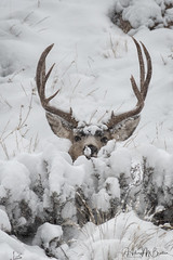 Snow deer (Hilary Bralove) Tags: rockymountains muledeer deer colorado wildlife mammals nature outdoors wild animals nikon