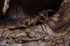 Spider Predator (Roberto_Mosca) Tags: spider pentax k1 macro shelob