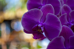 purple beauty (mariola aga) Tags: conservatory greenhouse plant flower orchid purple closeup bokeh nature coth alittlebeauty coth5 natureinfocusgroup