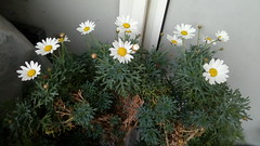 Marguerite standard flowering on balcony (Very close up) 6th March 2019 (D@viD_2.011) Tags: marguerite standard flowering balcony very close up 6th march 2019