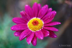 20190304-12-Daisy (Roger T Wong) Tags: 2019 australia hobart metabones rogertwong sigma50macro sigma50mmf28exdgmacro smartadapter sonya7iii sonyalpha7iii sonyilce7m3 tasmania daisy flower magenta