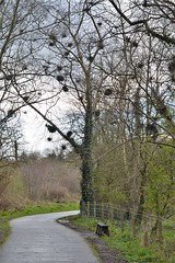 witch's brooms (conall..) Tags: witchs broom brooms birch tree lagan towpath seat fence walk minnowburn shawsbridge