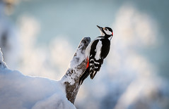 Greater Spotted Woodpecker (MrBlackSun) Tags: finland arctic snow birds birdlovers bird birdwatchers nikon d850 kuusamonaturephotography kuusamo oulanka