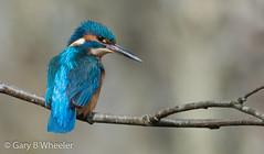 Kingfisher (Ponty Birder) Tags: g b wheeler pontybirder garywheeler kingfisher birds wales alcedoatthis