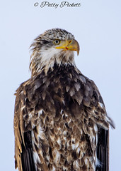 bald eagle (Pattys-photos) Tags: bald eagle swanvalley idaho pattypickett4748gmailcom pattypickett