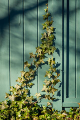 Clamouring for Attention (Katrina Wright) Tags: dsc3394 ivy fence green turquoise fencefriday hff garden spring light shadow shade overgrown