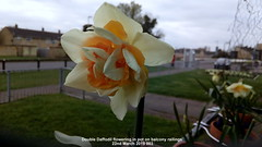 Double Daffodil flowering in pot on balcony railings 22nd March 2019 001 (D@viD_2.011) Tags: double daffodils flowering pots balcony railings 22nd march 2019