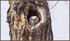 Wakey Wakey (CrzyCnuk) Tags: greathornedowl alberta canon canon6d wildlife owl calgary owlet